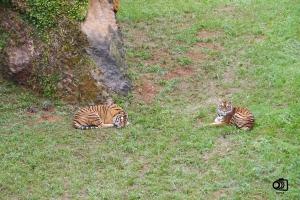 Tigres en Cabárceno.