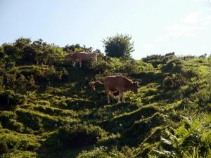 Vacas en Lagos de Covadonga.